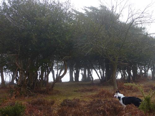 Marrowbones Hill - holly trees