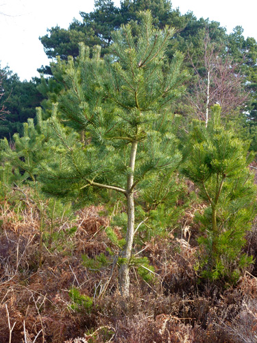 Baby Scots Pine
