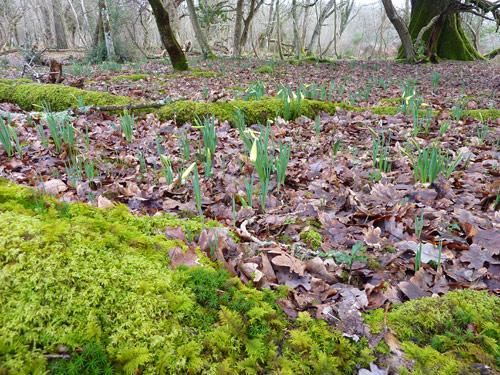 Daffodils growing away amongst the trees...