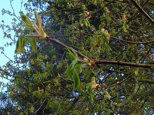 Beech leaves bursting forth