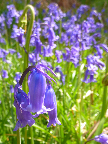Macro bluebell
