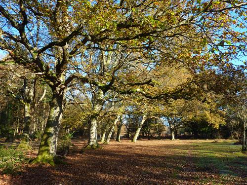 A fine avenue of oak trees