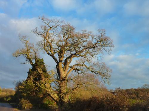 Mockbeggar oak