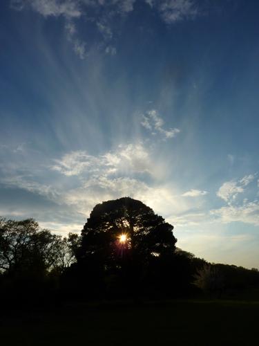 Sun behind Scots Pine