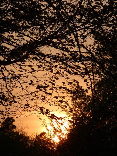 Sunset through beech trees