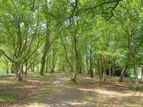Stand of birch trees near Brook Farm