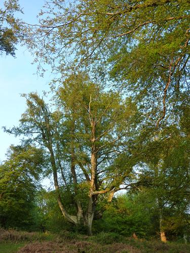 Huge beech trees