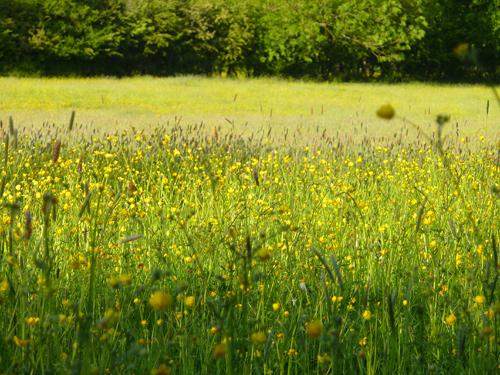 A lovely field of buttercups