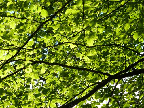 Late sun shining through the beech leaves