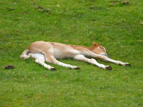 A foal sleeps peacefully in the morning sun