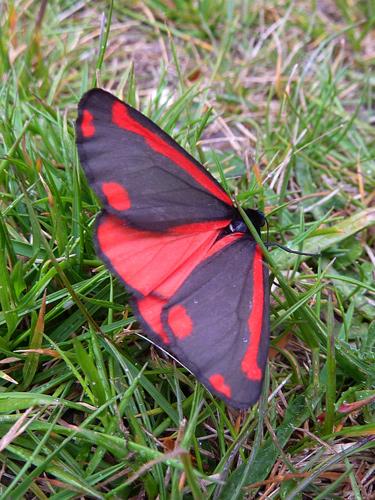 A cinnabar moth