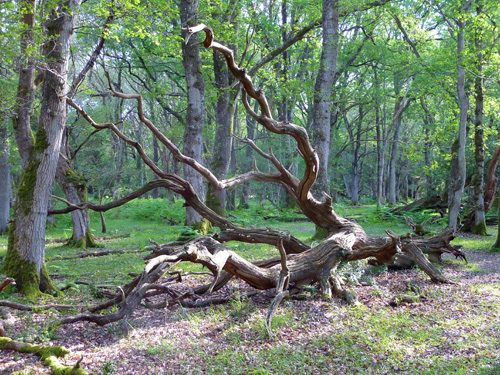 The natural art of a fallen oak tree