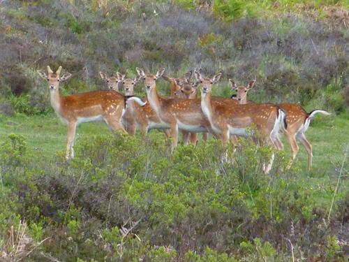 A herd of fallow deer in Akercome Bottom