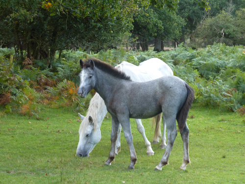 Grey New Forest Pony foal