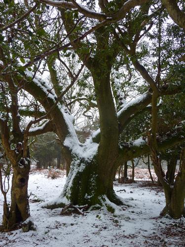 Snowy trees on Marrowbones Hill