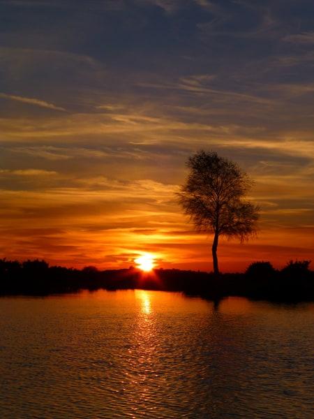 Single birch sunset